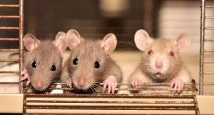 Diseases Caused by Rats