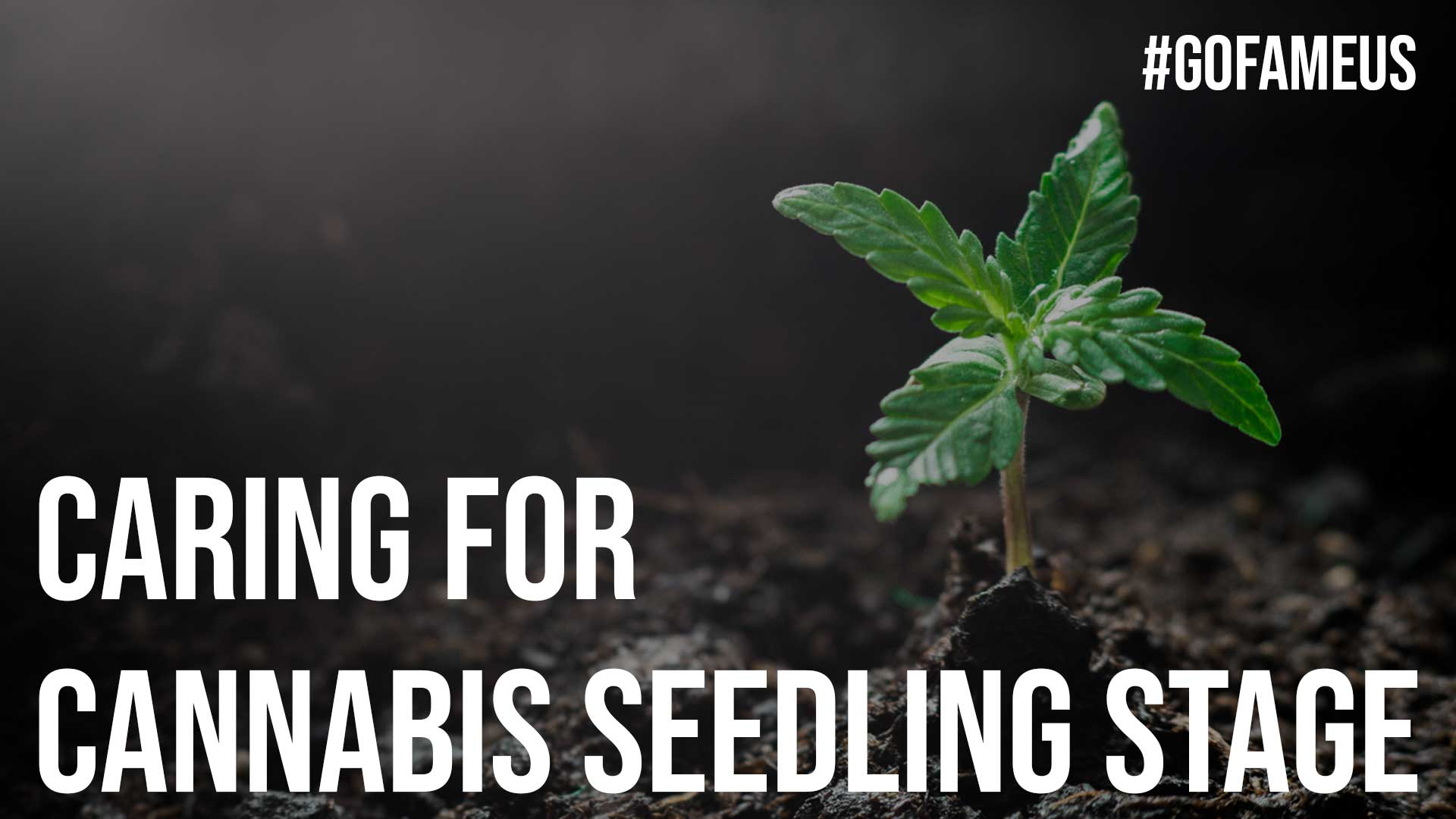 Caring For Cannabis Seedling Stage